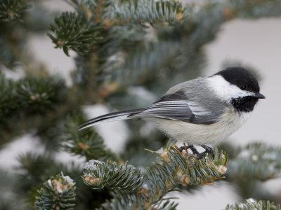 Black-Capped Chickadee, Poecile Atricapilla, in a Snow-Dusted Tree