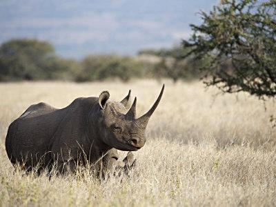 Endangered Species Black Rhino and Calf in Kenya