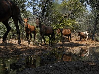 Protected Wild Horses Come to a Water Hole in Order of Dominance