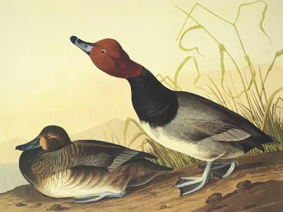 Red-Headed Duck