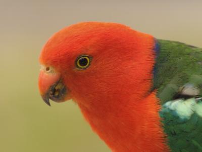 Australian King Parrot, Dandenong Ranges National Park, Victoria, Australia, Pacific