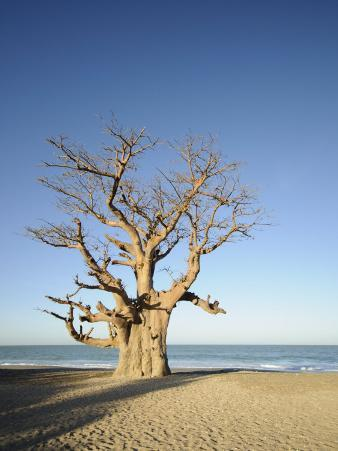 Baobab Tree, Sine Saloum Delta, Senegal, West Africa, Africa