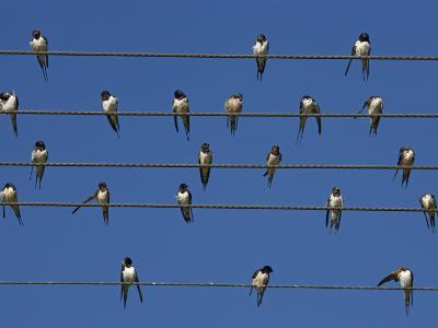 Barn (European) Swallow (Hirundo Rustica) on Wire, Overberg, Western Cape, South Africa, Africa