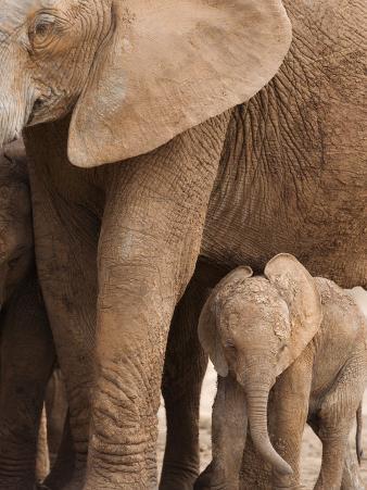 Elephant and Baby (Loxodonta Africana), Addo Elephant National Park, Eastern Cape, South Africa