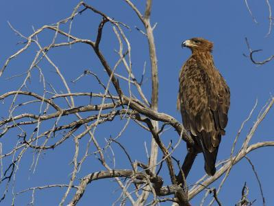 Tawny Eagle (Aquila Rapax), Kgalagadi Transfrontier Park, Northern Cape, South Africa, Africa