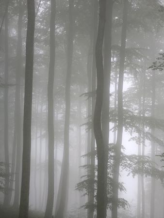 Trees in Fog, Saint-Jean-Pied-De-Port, Pyrenees Atlantique, France, Europe