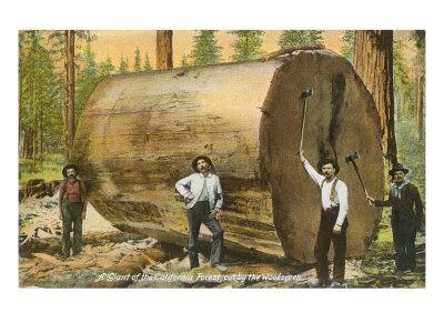 Section of Redwood Cut by Woodsmen
