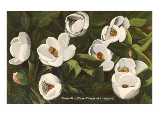 Magnolia State Flower Of Louisiana Posters At Allposterscom