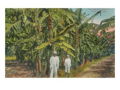 Banana Plantation in Jamaica