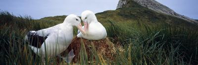 Wandering Albatross Mated Pair Bonding at the Nest, Bird Island, South Georgia Island