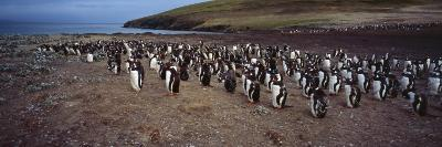 Colony of Gentoo Penguins at the Neck, Saunders Island, Falkland Islands