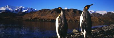 King Penguins on Shore of Cumberland Bay East, King Edward Point, South Georgia Island