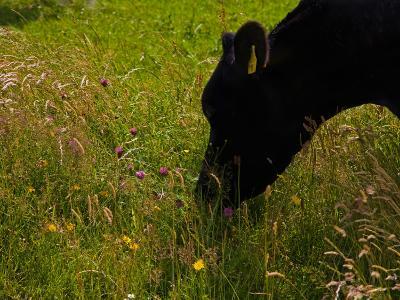 Friesian Cattle Grazing in Wild Flower Meadow, Near Bunmahon, County Waterford, Ireland