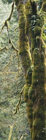 Mossy Tree Trunk, Olympic National Forest, Olympic National Park, Washington, USA