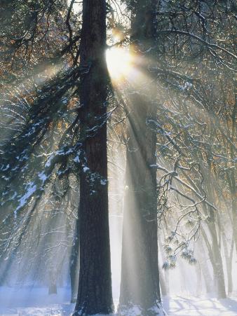 Sun Rays Streaming Through Snow Covered Trees, Yosemite National Park, California, USA