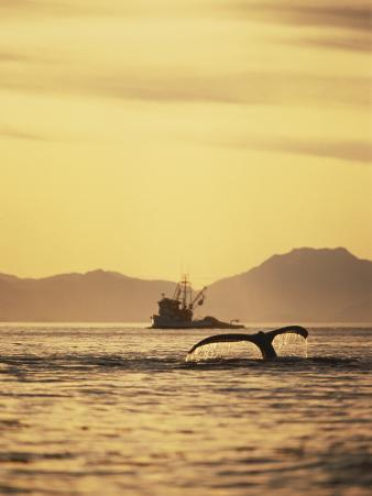 View of Humpback Whale Tail and Fishing Boat, Inside Passage, Alaska, USA