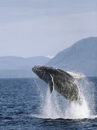 Humpback Whale Breaching, Inside Passage, Alaska, USA