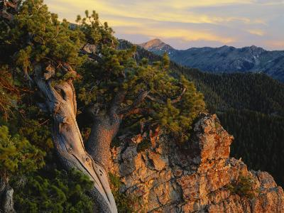 Limber Pine and Limestone Cliff, Bear River Range, Mount Naomi Wilderness, Utah