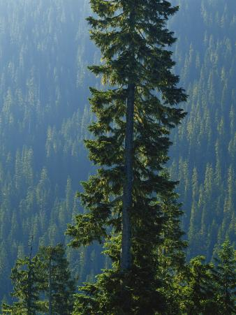 Old-Growth Forest Above Chinook Creek, Mount Rainier National Park, Washington, USA