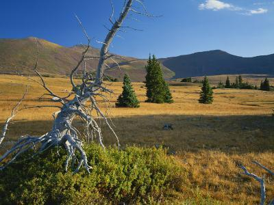 Dead Krummholz Spruce with Uinta Mountains, High Uintas Wilderness, Ashley National Forest, Utah