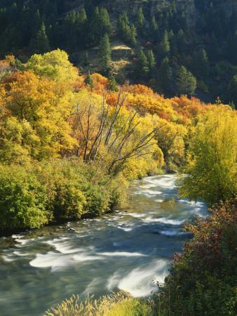 Maples and Birches Along Blacksmith Fork River, Wasatch-Cache National Forest, Utah, USA
