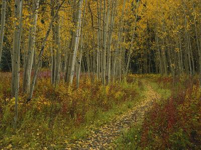 Footpath Through Autumn Aspen Trees, San Isabel National Forest, Colorado, USA
