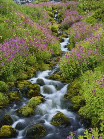 Pink Monkey Flowers Growing Along Stream, Mount Rainier National Park, Washington, USA