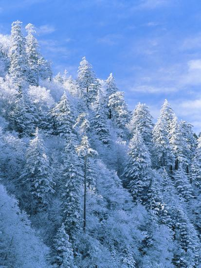 Tennessee Business Search >> Snow Covered Trees in Forest, Newfound Gap, Great Smoky Mountains National Park, Tennessee, USA ...