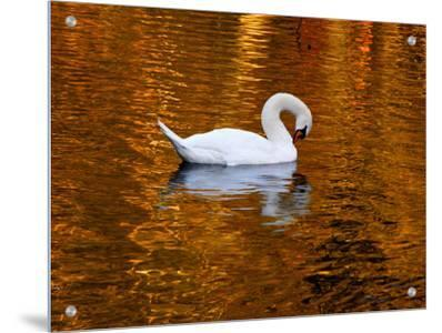 Swan Gliding on the Golden Lake