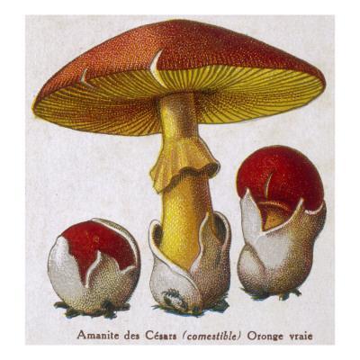 Caesar's Amanite (Agaricus Caesaricus) (Edible)