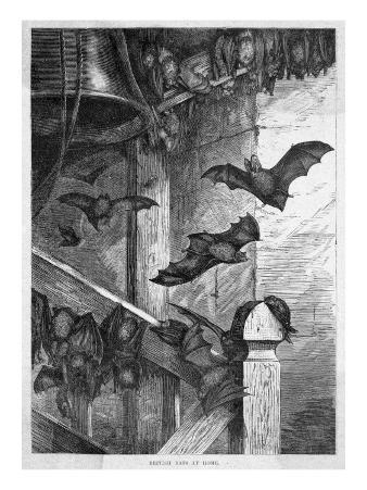 Bats in One of their Typical Homes, a Belfry