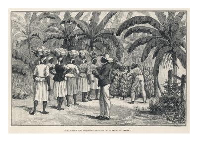 Collecting and Counting Bananas, Jamaica, West Indies