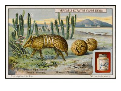 Dasypus Tricinctus - Three-Banded Armadillo