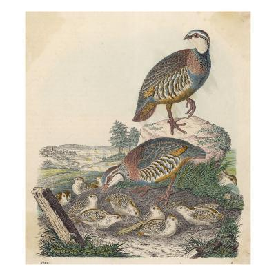 Common, or Grey Partridges and their Chicks (Perdix Perdix)