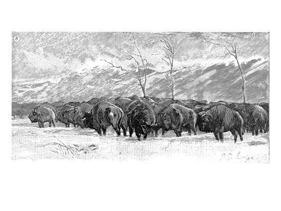 Herd Of Buffalo In A Blizzard 1887 Giclee Print At