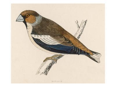 Hawfinch (Morris) 1851