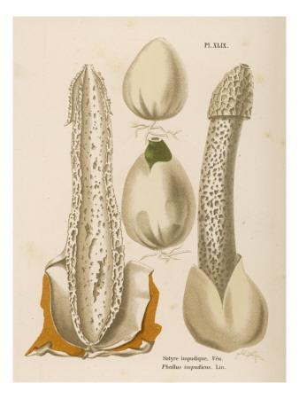 Phallus Impudicus (Poisonous)