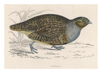 The Common or Grey Partridge (Perdix Perdix)