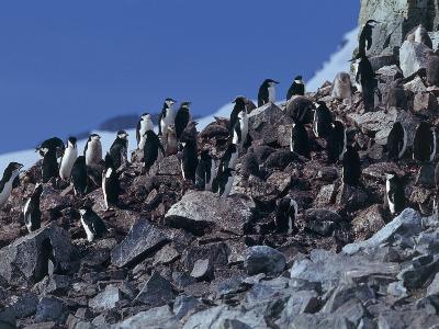 Group of Chinstrap Penguin on Rocks, Half Moon Island, Antarctica (Pygoscelis Antarctica)