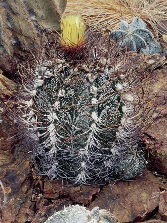Close-Up of a Goat's Horns Cactus Plant (Astrophytum Capricorne)