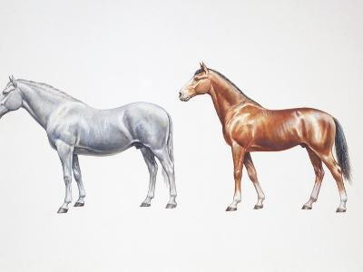 Standard Bred Horse and American Standardbred (Equus Caballus), Illustration