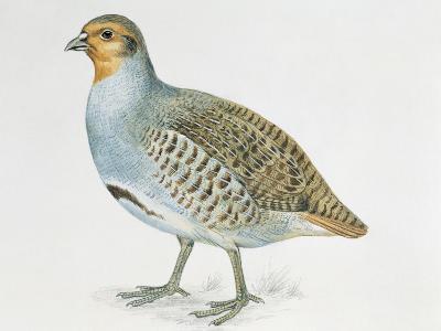 Close-Up of a Grey Partridge (Perdix Perdix)