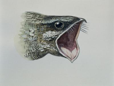 Close-Up of an Eurasian Nightjar (Caprimulgus Europaeus)