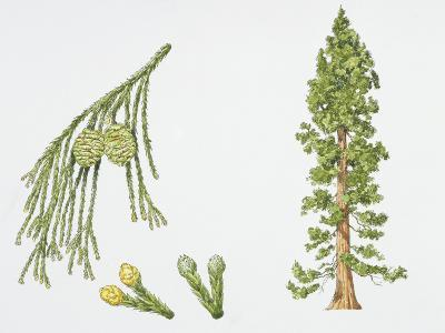 Giant Sequoia (Sequoiadendron Giganteum) Plant with Flower, Leaf and Seed, Illustration