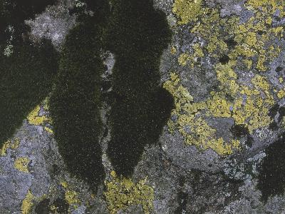 Close-Up of Map Lichen and Moss