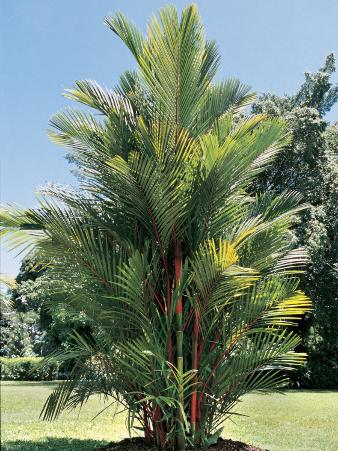 Red Sealing Wax Palm Tree on a Landscape (Cyrtostachys Renda)