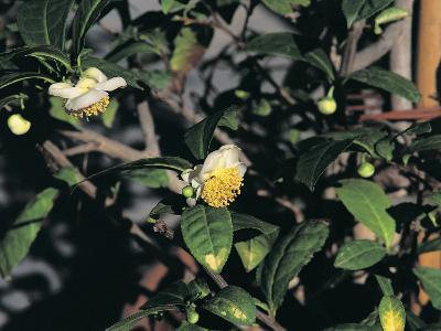 Close-Up of a Tea Plant (Camellia Sinensis)