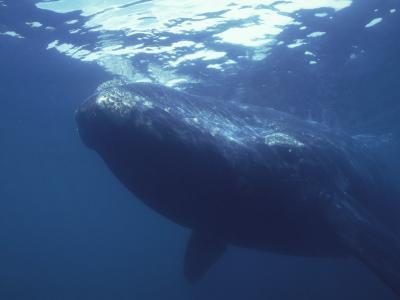 Underwater shot of southern right whale, Peninsula Valdez, Argentina