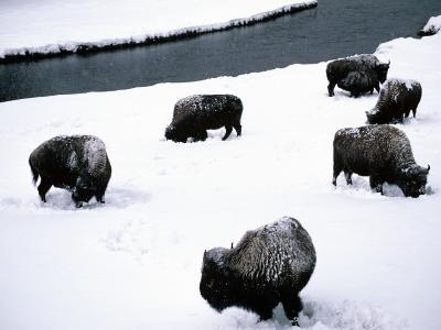 American Bison (Bison Bison) Herd in Winter Snow, Yellowstone National Park, Wyoming, Usa