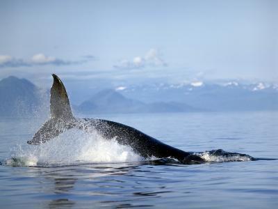 Humpback Whale (Megaptera Novaeangliae) Jumping, Frederick Sound, Alaska, Usa